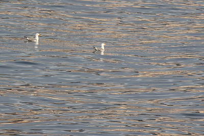 Larus cachinnans, Geelpootmeeuw in Dutch (at sea near Los Cristianos Ferry Port, Tenerife)