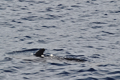 Tursiops truncatus?, Bottlenose Dolphin? (between Los Cristianos and San Sebastian de la Gomera)