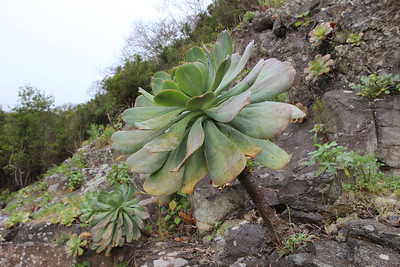 Aeonium davidbramwellii in a mostly or completely single stemmed population in which case the rosettes tend to be very large (along the LP3 at about 900m, a few km east of Cumbre tunnel)