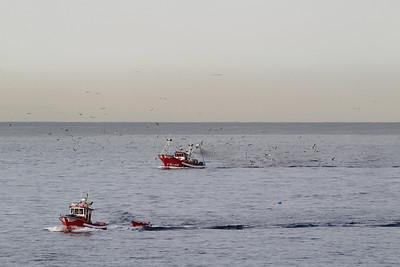 Larus cachinnans, Geelpootmeeuw in Dutch (near Los Cristianos Ferry Port, Tenerife)