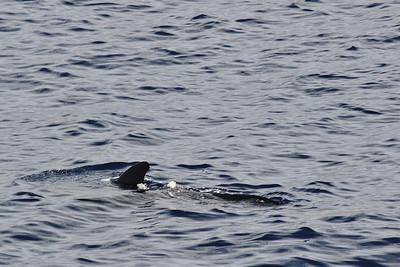 Tursiops truncatus?, Bottlenose Dolphin? (between Los Cristianos and San Sebastian de la Gomera)