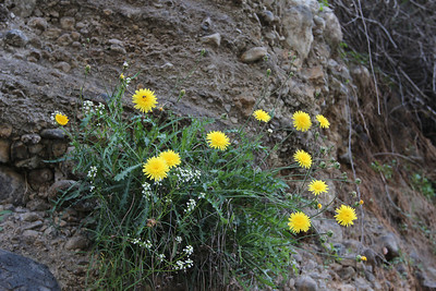 Reichardia ligulata (along the LP-1, descending from the Loss Lanos direction, Barranco de las Angustias)