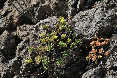 Aeonium sedifolium (along the LP-1, climbing to Mirador El Time, Barranco de las Angustias)