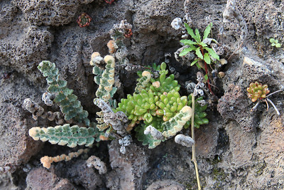 Aeonium sedifolium and Cheilanthes vellea (along the LP-1, climbing to Mirador El Time, Barranco de las Angustias)