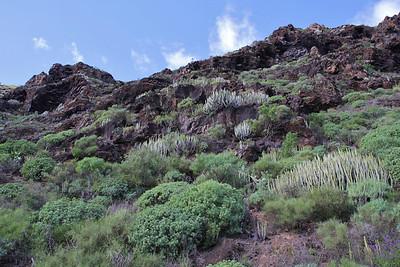 Euphorbia balsamifera and Euphorbia canariensis (southfacing slope of the Barranco de Las Angustias, 450m, along LP1)